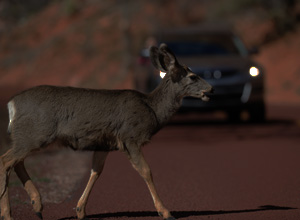 Deer Walking on the Road at Night